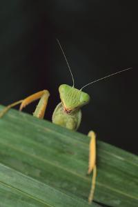 Praying Mantis Looking out from behind Leaf by DLILLC