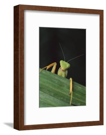 Praying Mantis Looking out from behind Leaf