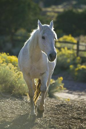 Quarter Horse Trotting on Trail by DLILLC