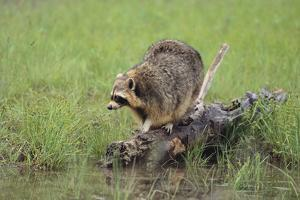 Raccoon by DLILLC