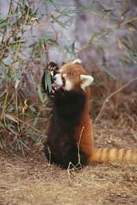 Red Panda Eating Bamboo Leaves by DLILLC