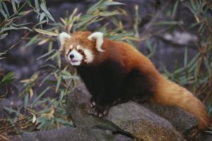 Red Panda on Rock by DLILLC