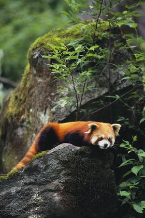 Red Panda Resting on Rock