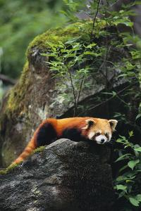 Red Panda Resting on Rock by DLILLC