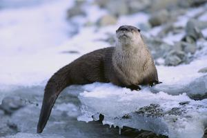 River Otter on Icy Riverbank by DLILLC