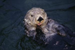 River Otter Swimming by DLILLC