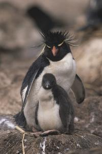 Rockhopper Penguin with Chick by DLILLC