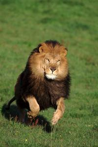 Running African Lion by DLILLC