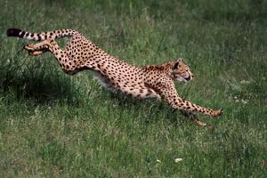 Running Cheetah by DLILLC