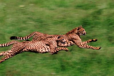 Running Cheetahs by DLILLC
