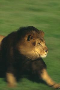 Running Lion by DLILLC
