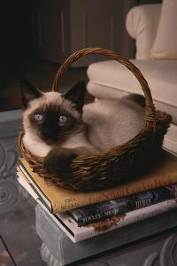 Siamese Cat Sitting in Basket on Coffee Table by DLILLC