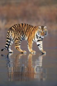 Siberian Tiger Walking on Wet Surface by DLILLC