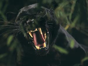 Snarling Black Panther by DLILLC