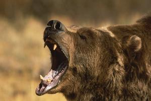 Snarling Grizzly Bear by DLILLC