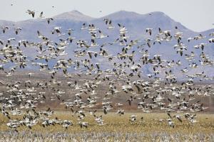 Snow Geese in Flight by DLILLC