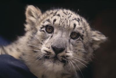Snow Leopard Cub by DLILLC