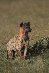 Spotted Hyena by DLILLC