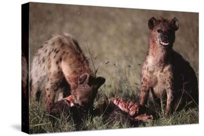 Spotted Hyenas Feeding on Carcass