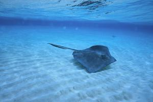 Stingray by DLILLC