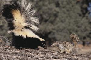 Striped Skunk and Squirrel by DLILLC