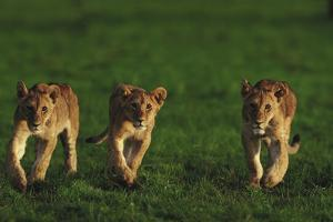 Three Young Lion Cubs by DLILLC