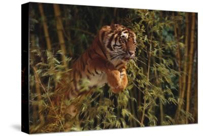 Tiger Leaping from Bamboo Forest