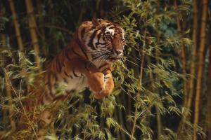 Tiger Leaping from Bamboo Forest by DLILLC