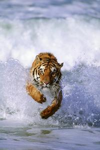 Tiger Running in Surf by DLILLC