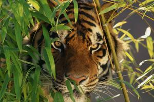 Tiger Sitting among Bamboo Leaves by DLILLC
