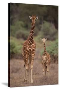 Two Giraffes Walking through the Bush by DLILLC
