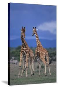 Two Playful Giraffes by DLILLC
