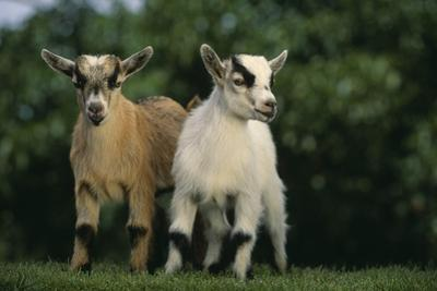 Two Pygmy Goats by DLILLC
