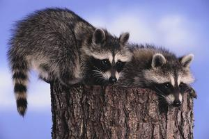 Two Raccoons by DLILLC