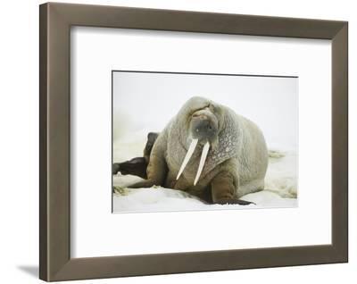 Walrus Relaxing on an Ice Floe