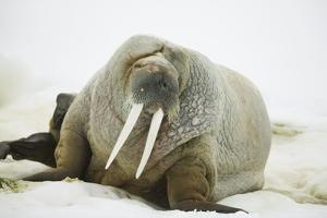 Walrus Relaxing on an Ice Floe by DLILLC