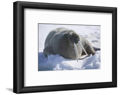 Walrus Resting on an Ice Floe