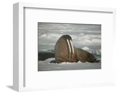 Walrus Sitting on an Iceberg