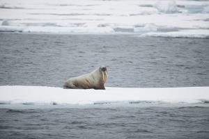 Walrus by DLILLC