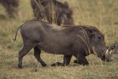 Warthog Digging for Food with Snout