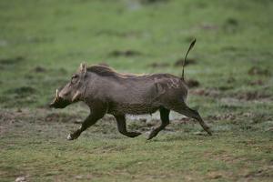Warthog by DLILLC