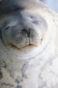 Weddell Seal by DLILLC