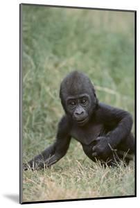 Western Lowland Gorilla by DLILLC