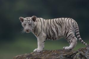 White Bengal Tiger Cub on Rocks by DLILLC