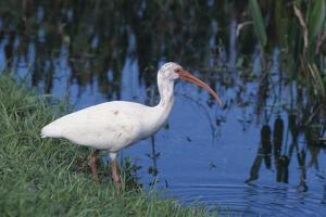 White Ibis Standing by Water by DLILLC