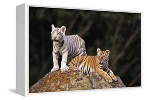 White Tiger and Orange Tiger on Rock by DLILLC