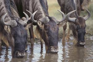 Wildebeest by DLILLC