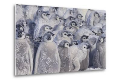 Young Emperor Penguins Covered in Snow
