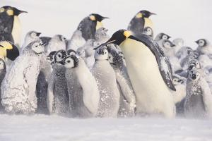 Young Emperor Penguins Covered in Snow by DLILLC