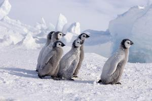 Young Emperor Penguins by DLILLC